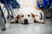 A dog lying patiently on the floor in a classroom between rows of chairs
